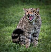 Scottish Wildcat Growling Towa...