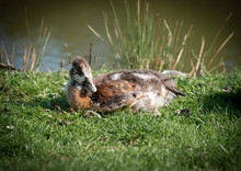 Egyptian Geese And Goslings On...