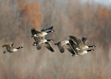 Canada Geese Migrating In The Fall Of The Year
