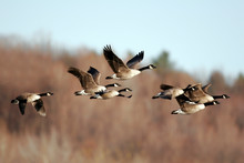Canada Geese Migrating In The ...