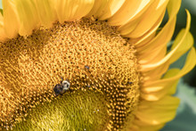 Sunflower With A Honey Bee Col...