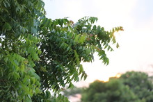 New Top Leaf Of Neem Plant. Azadirachta Indica -A Branch Of Neem Tree Leaves. Natural Medicine.
