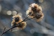 canvas print picture - macro of burdock with snow and ice