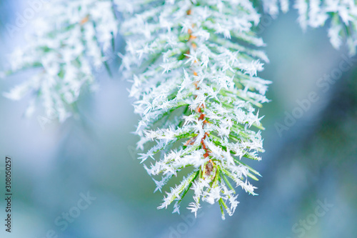 Fototapeta Branches and twigs of a fir or spruce tree covered with ice crystals or hoar frost. It is bitter cold outside. The Beauty of the Christmas season obraz