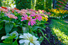 Pink Zinnia Flower In Garden Outdoors With Blooming On Beautiful Background