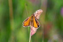 Essex Skipper Butterfly (Thymelicus Lineola) With Ends Of Antenna Being Black In Colour, Resting On Wild Grass