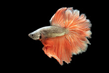 Gloden And Orange Tail Betta Fish, Siamese Fighting Fish, Betta Splendens (Halfmoon Betta, Pla-kad (Biting Fish) Isolated On Black Background. File Contains A Clipping Path.