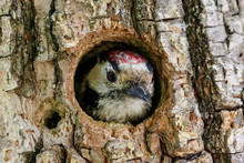 Lesser Spotted Woodpecker Dendrocopos Minor Male Looking From Hole In Tree. Cute Little Forest Bird In Wildlife.