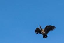 Hadeda Ibis (Bostrychia Hageda...