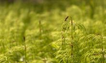 Wood Horsetail - Equisetum Syl...