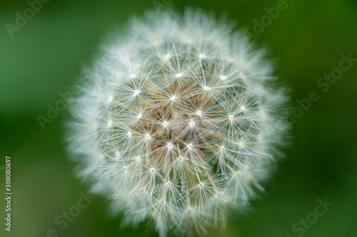 Fotografia  A close up of the head of a white fluffy dandelion plant, displaying the visible seeds that will blow away upon the next strong wind gust