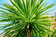 Green Long Leaves On The Trunk Cordyline Australis On A Bright Day