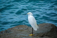 Snowy Egret By The Sea. Portra...
