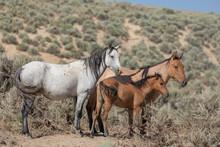 Wild Horses In Summer In Sand Wash Basin Colorado