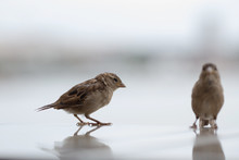 Sparrow Bird Sits On A Light Background
