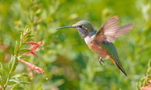 Broad-tailed Hummingbird Feedi...