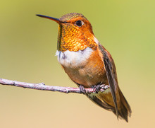 Rufous Hummingbird Perched On A Branch