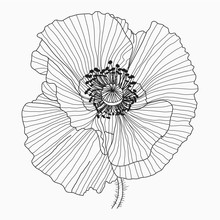 California Poppy Flowers Drawn...