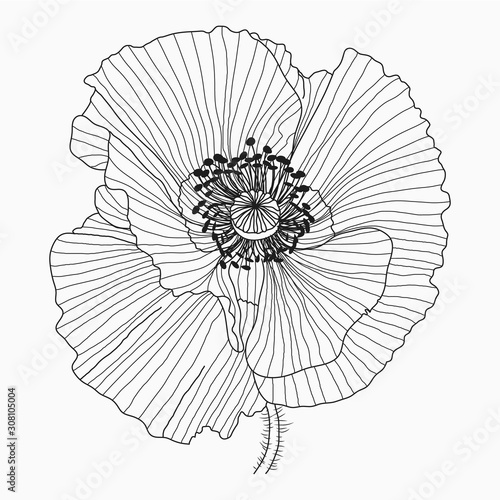 California poppy flowers drawn and sketch with line-art on white backgrounds. - 308105004