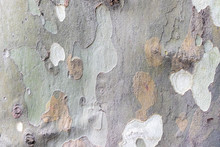 Sycamore, Platan Or Plane Tree Bark Texture Background In Khaki Colors, Khaki Military Pattern Imitation