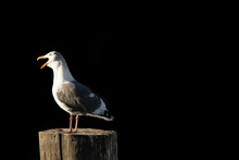 Seagull Sitting On A Wooden Po...