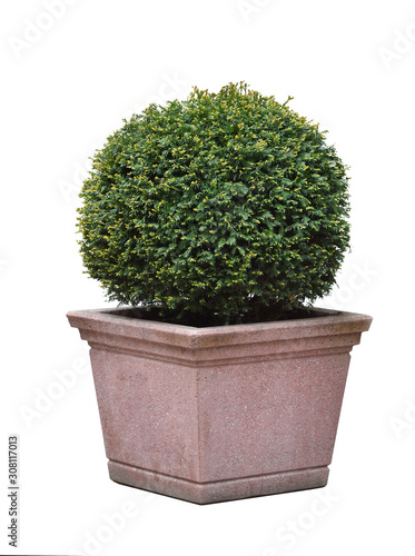 Beautiful Taxus coniferous bush in a rounded ball shape, in a square stone pot o Fototapete