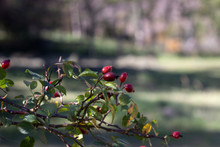 Beautiful Red Rose Hips On A B...