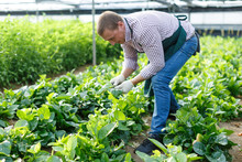 Farmer Caring For Malabar Spinach Plants