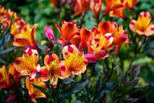 Many Small Orange Lily Flowers
