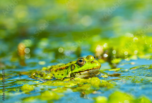 Photo Frog above the surface of the water covered with bright algae, close-up