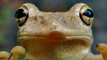 Kissing Tree Frog