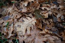 Autumn Oak Leaves On The Ground