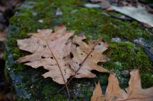 Oak Leaves On Moss