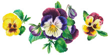 Bouquet Of Colored Pansy Flowe...