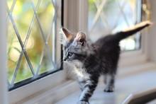 Kitten Looking Out Of Window