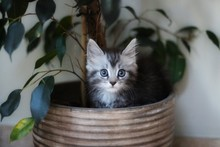 Maine Coon Kitten Sitting In H...