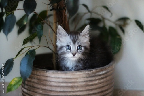 Maine coon kitten sitting in house plant Poster Mural XXL