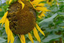Fading Sunflower On The Field Close Up