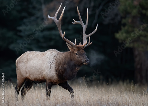 Photo Elk in Banff Canada