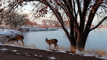 White Tailed Deer At Rocky Mou...