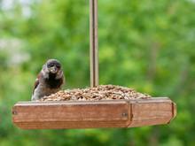 Sparrow Sits In A Bird Feeder ...