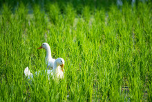 White Ducks At Rice Farm