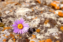 On The Stone Surface With The Texture Of Stone And Lichen Is A Lilac Flower