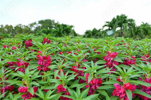 Photo pink balsam flower  in graden. (Impatiens balsamina)