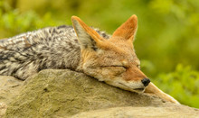 Coyote Dog Portrait Sleeping O...