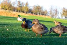 Wild Ducks On Green Grass