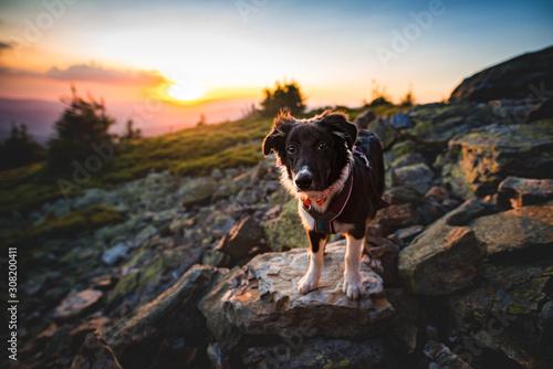 Photo Australian shepherd