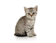Nice Little Grey Kitten Sittin...