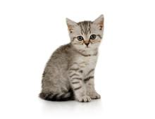 Nice Little Grey Kitten Sitting On White Background