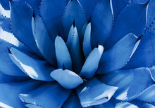 Closeup View Of A Blue Agave P...